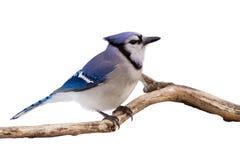 Wachsamer Blauhäher auf einem Zweig Lizenzfreie Stockfotografie