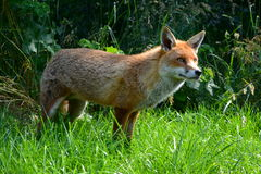 Wachsamer Fuchs Lizenzfreie Stockfotografie