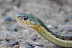 Wachsamer Gardner Snake Stockbild