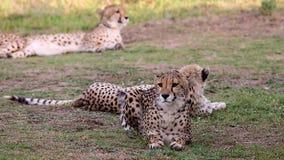 Wachsamer Gepard mit schönem Pelz stock video footage