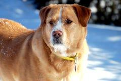 Wachsamer Hund mit einem Faceful des Schnees Lizenzfreie Stockbilder