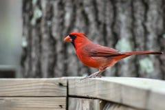 Wachsamer Kardinal (3) Lizenzfreie Stockfotos