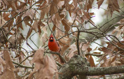 Wachsamer Kardinal Stockfotografie
