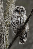 Wachsamer Streifenkauz, Strix varia, hockte in einem Baum Stockfotografie