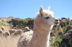 Wachsames Auge eines Lamas Stockfotografie