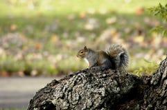 Wachsames Eichhörnchen Stockfoto