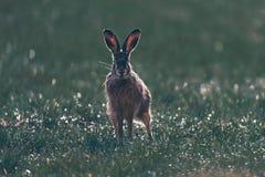 Wachsames europäische Hasen Lepus europaeus mit den spitzen Ohren auf einem Gebiet Stockbild