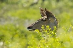 Wachsames junges kudu Stockbild