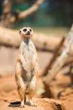 Wachsames meerkat, das auf Schutz steht Lizenzfreie Stockfotos