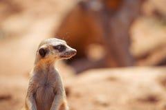 Wachsames meerkat, das auf Schutz steht Lizenzfreie Stockfotografie