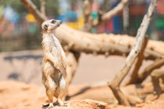 Wachsames meerkat, das auf Schutz steht Lizenzfreies Stockfoto