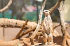Wachsames meerkat, das auf Schutz steht Stockfoto