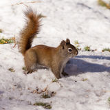 Wachsames nettes amerikanisches rotes Eichhörnchen im Winterschnee Lizenzfreie Stockfotografie
