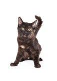 Wachsames Schwarzes und Tan Domestic Longhair Kitten Stockfoto