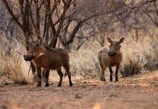 Wachsames Warthogs unter Bushveld Bäumen Stockbilder