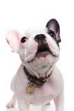 Wachsames wenig Welpenabstreifen der französischen Bulldogge Stockbilder