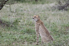 Wachsames wildes Gepard Acinonyx jubatus auf dem Serengeti Lizenzfreie Stockfotos