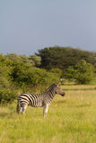 Wachsames Zebra Stockbild