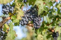 Wachsen der blauen Trauben Stockfotos