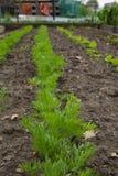 Wachsen der jungen Karotte lizenzfreie stockfotos