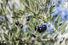 Wachsen der schwarzen Oliven auf Baum Stockfotos