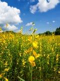 Wachsen des Sunn-Hanfs oder des Crotalaria juncea Lizenzfreie Stockbilder