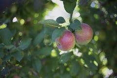 Wachsen mit zwei Äpfeln Lizenzfreies Stockfoto
