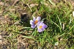 Wachsen mit zwei weißes Frühlingskrokussen stockbild