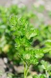 Wachsen von grünen Blättern der Petersilie Stockfotos