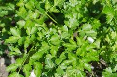 Wachsen von grünen Blättern der Petersilie Stockbild