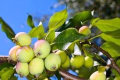 Wachsende Äpfel Stockfotos