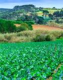 Wachsende Anlagen des Kohls Ñ-n ein Bett rudert roten Boden auf einem Ackerland Stockbilder