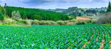 Wachsende Anlagen des Kohls Ñ-n ein Bett rudert roten Boden auf einem Ackerland Lizenzfreie Stockbilder