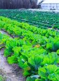 Wachsende Anlagen des Kohls Ñ-n ein Bett rudert roten Boden auf einem Ackerland Stockfoto