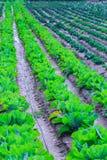 Wachsende Anlagen des Kohls Ñ-n ein Bett rudert roten Boden auf einem Ackerland Stockbild