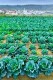 Wachsende Anlagen des Wirsingkohls in einem roten Boden der Reihen auf einem Ackerland Lizenzfreie Stockfotografie