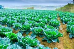 Wachsende Anlagen des Wirsingkohls in einem roten Boden der Reihen auf einem Ackerland Stockbild