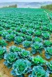 Wachsende Anlagen des Wirsingkohls in einem roten Boden der Reihen auf einem Ackerland Stockfotografie