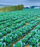Wachsende Anlagen des Wirsingkohls in einem roten Boden der Reihen auf einem Ackerland Lizenzfreies Stockfoto