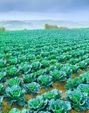 Wachsende Anlagen des Wirsingkohls in einem roten Boden der Reihen auf einem Ackerland Lizenzfreie Stockbilder