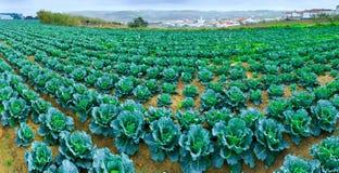 Wachsende Anlagen des Wirsingkohls in einem roten Boden der Reihen auf einem Ackerland Stockfoto