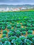 Wachsende Anlagen des Wirsingkohls in einem roten Boden der Reihen auf einem Ackerland Lizenzfreies Stockbild