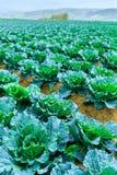 Wachsende Anlagen des Wirsingkohls in einem roten Boden der Reihen auf einem Ackerland Lizenzfreie Stockfotos