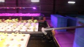 Wachsende Anlagen durch aquaponics unter speziellen Lampen stock footage