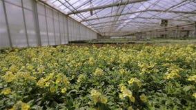 Wachsende Blumen in einem Gewächshaus, viele bunten Blumen in einem modernen Gewächshaus stock video footage