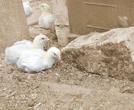 Wachsende Brathühnchen auf einem Bauernhof Stockfotos