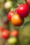 Wachsende bunte Tomaten Lizenzfreie Stockbilder