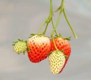 Wachsende Erdbeere Stockfotografie