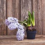 Wachsende Hyazinthe im Blumentopf auf hölzernem Hintergrund Lizenzfreies Stockfoto