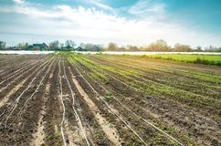 Wachsende junge Karotte auf dem Gebiet Berieselung Landwirtschaftliche Plantagen Organisches Gem?se landwirtschaft bewirtschaften stockfotos